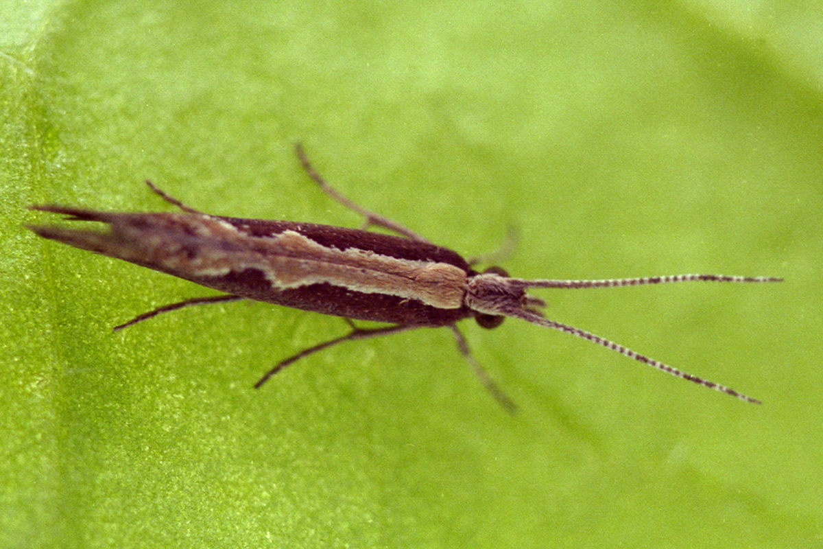 Plutella xylostella. Diamond-back moth. Credit: Rothamsted Research