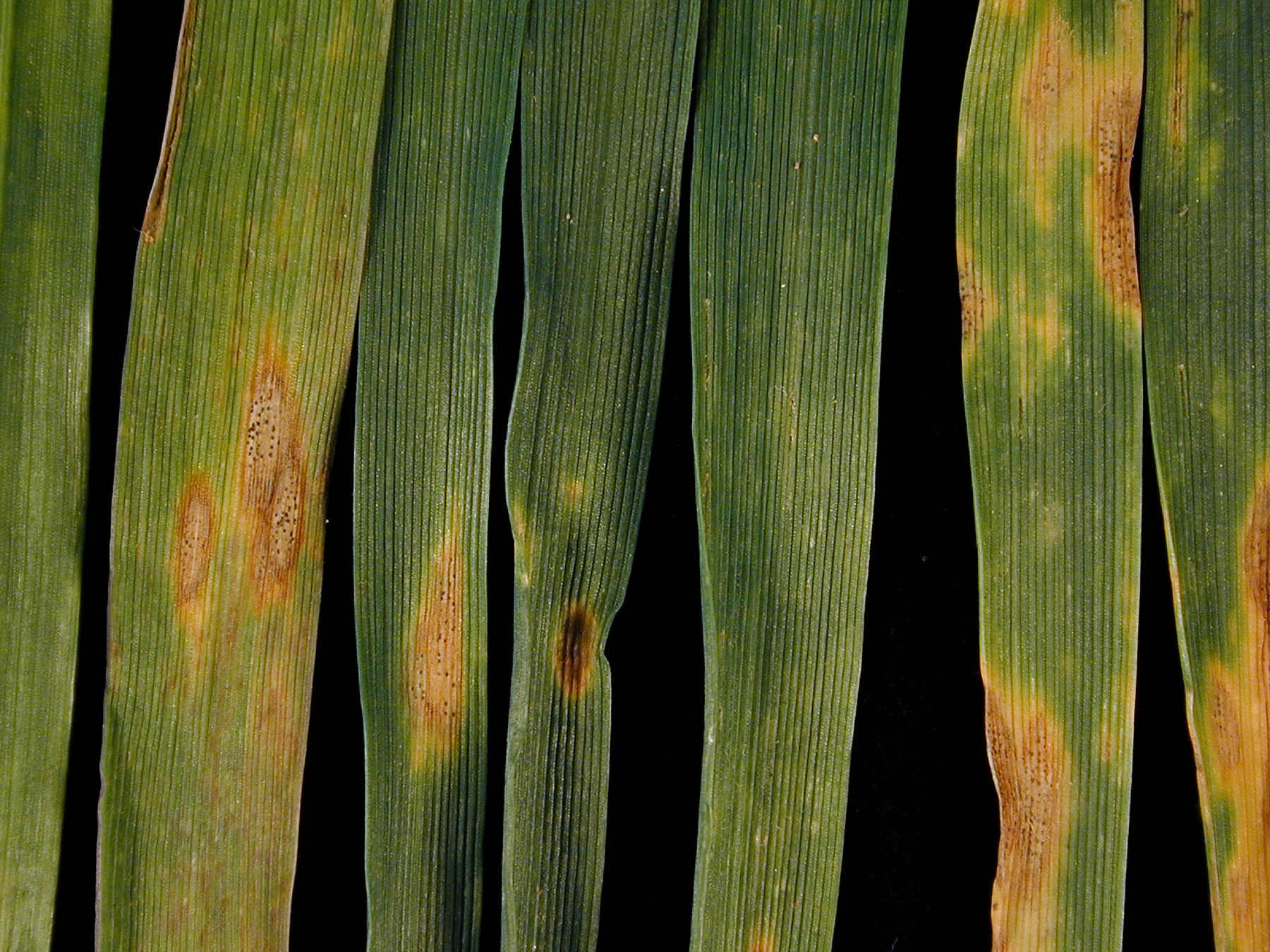 Septoria triciti - credit Rothamsted Research