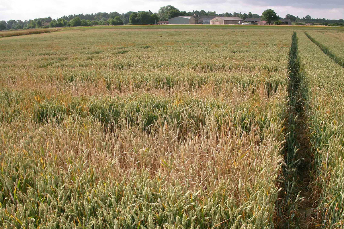Take-all spreads across wheat field Credit: Rothamsted Research