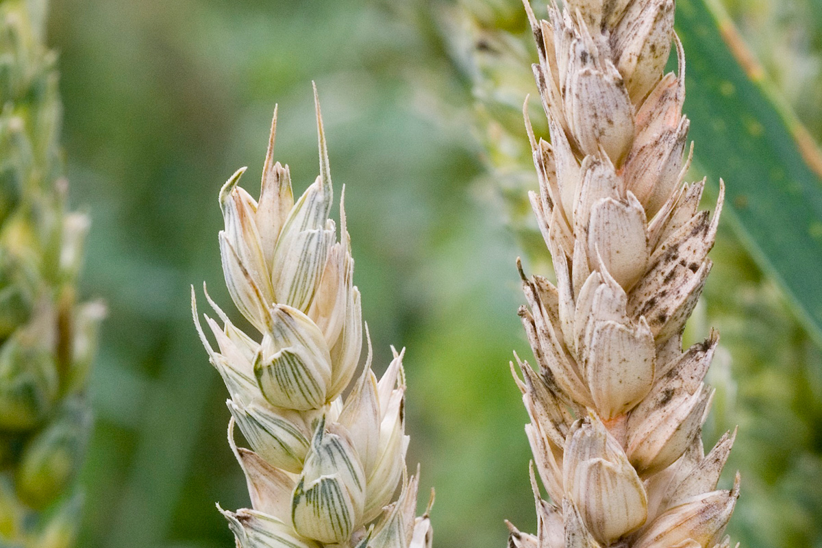 Fusarium ear blight Credit: Rothamsted Research