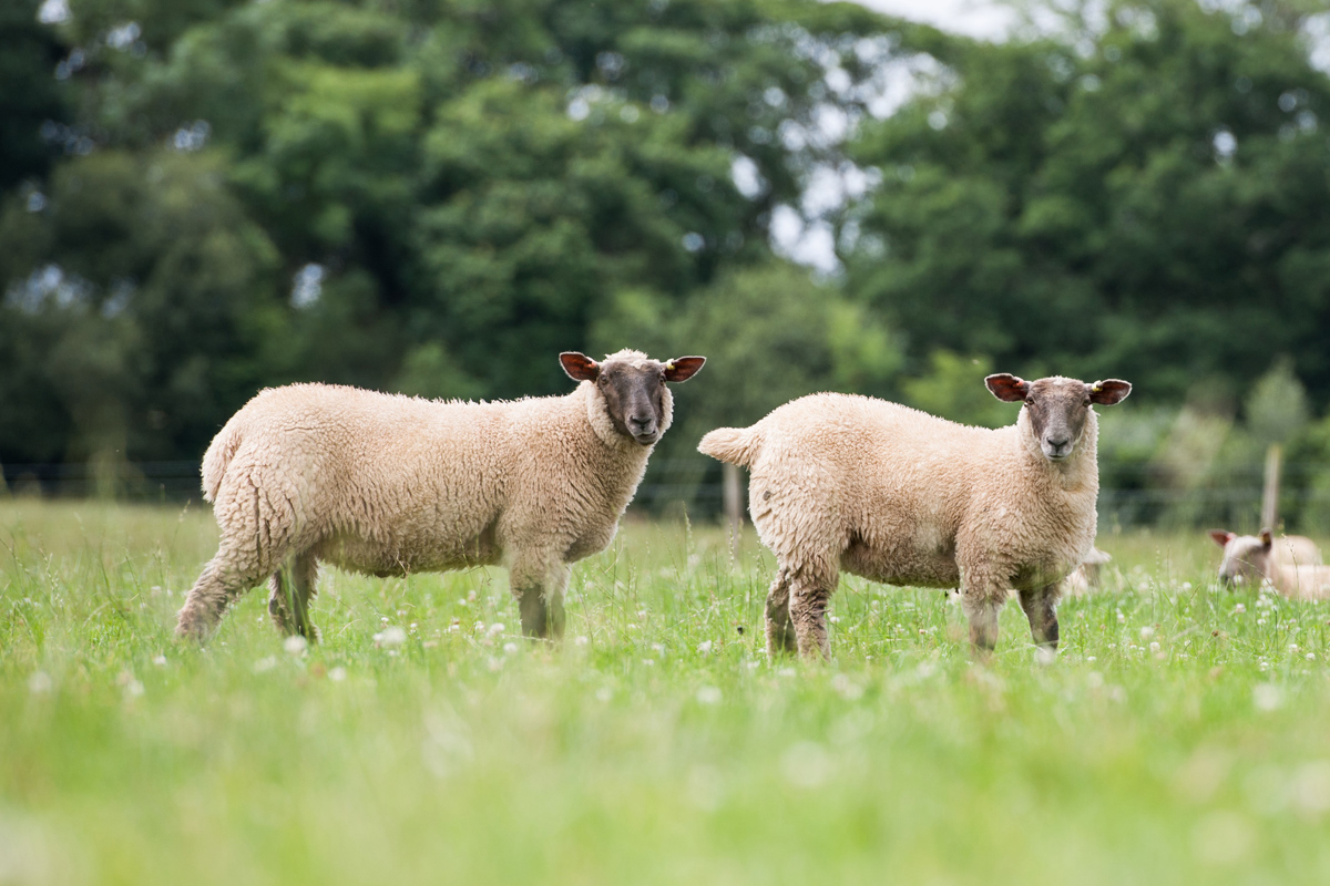 Sheep at North Wyke Credit: Rothamsted Research