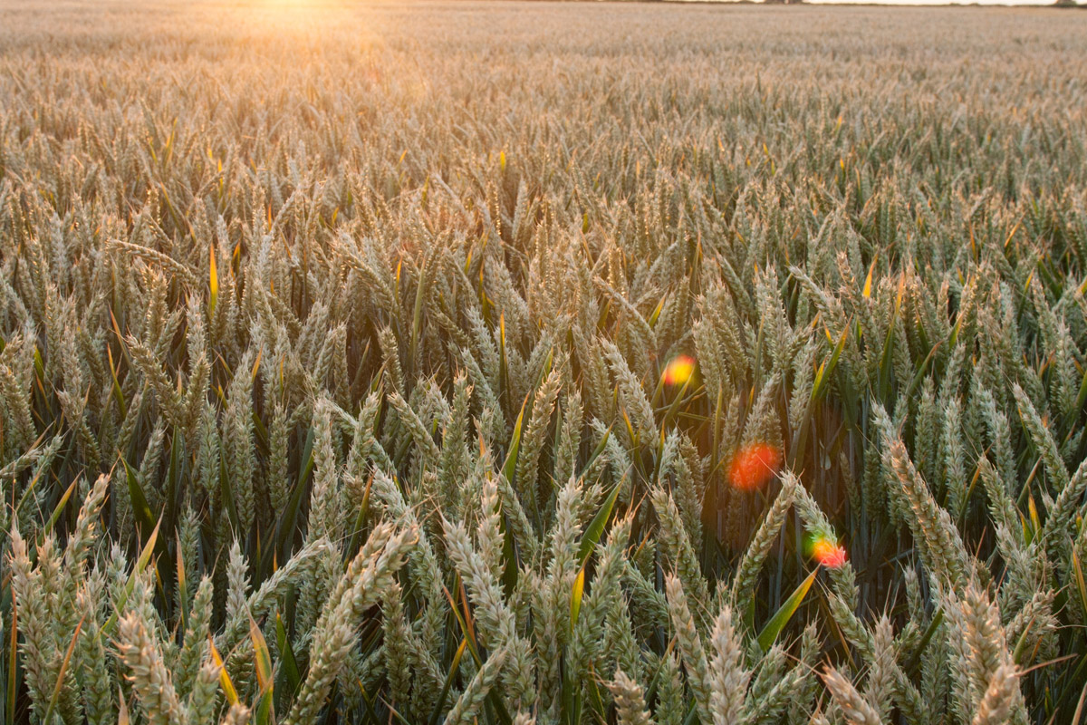 Wheat fields. News 27 Dec 2017. Credit: Rothamsted Research