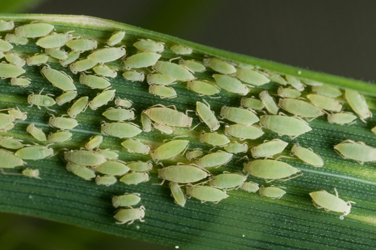 Russian wheat aphid, Zimbabwe. Credit: Gia Aradottir/Rothamsted Research
