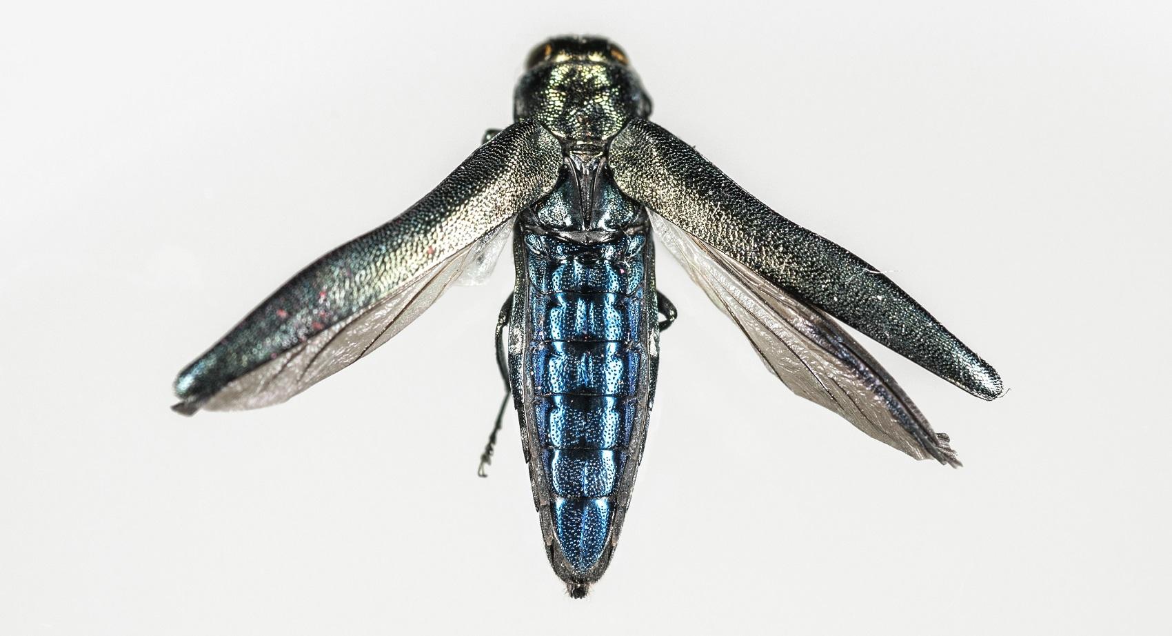 Agrilus_biguttatus_oak_buprestid_beetle- copyright Rothamsted Research