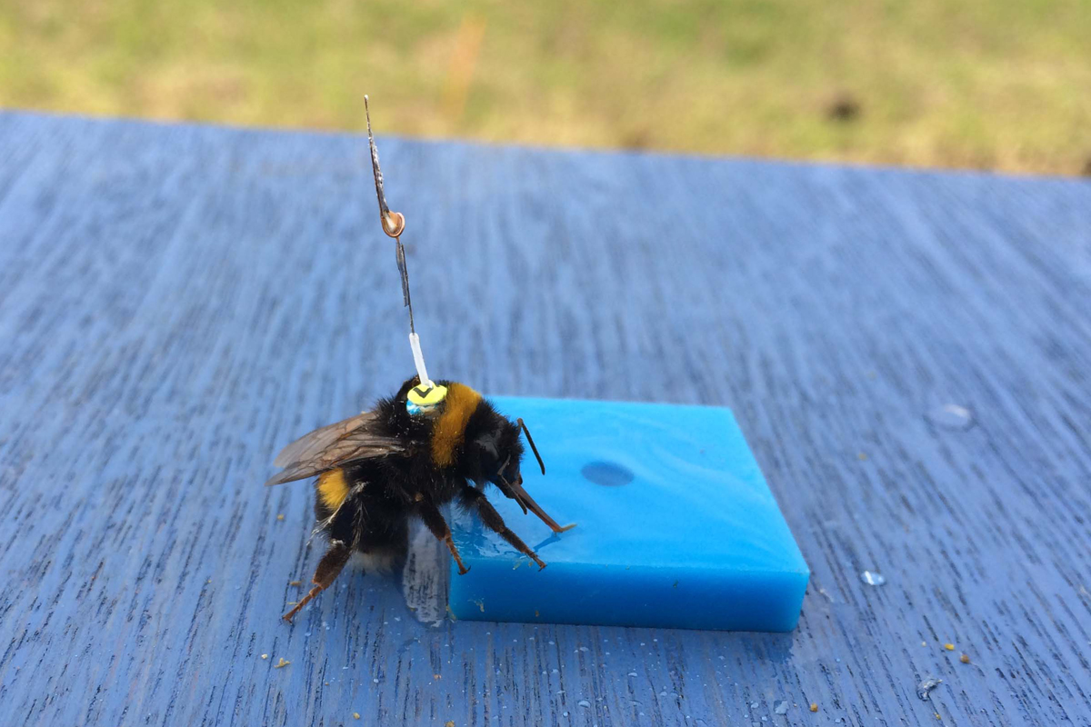 Bumblebee at Rothamsted. News 11 Dec 2017. Credit: James Makinson, QMUL