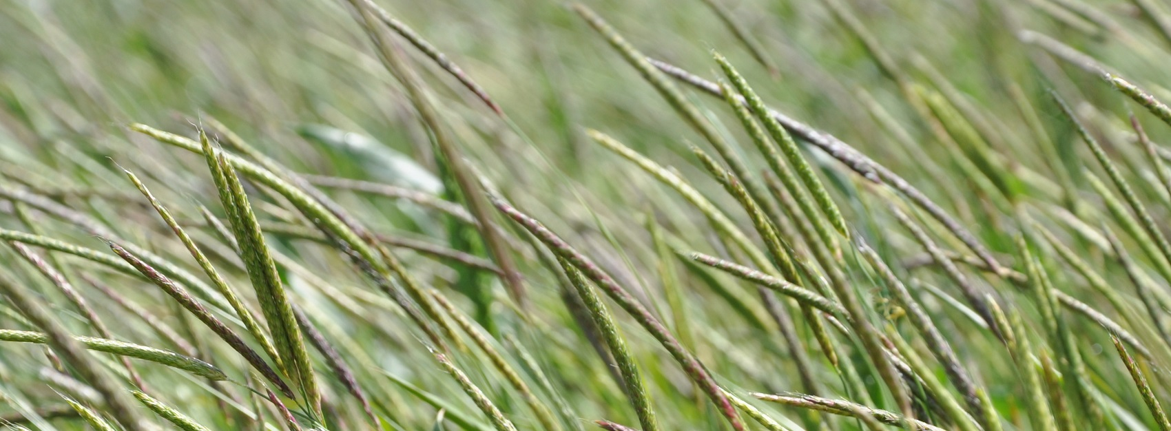 Blackgrass II- copyright Rothamsted Research