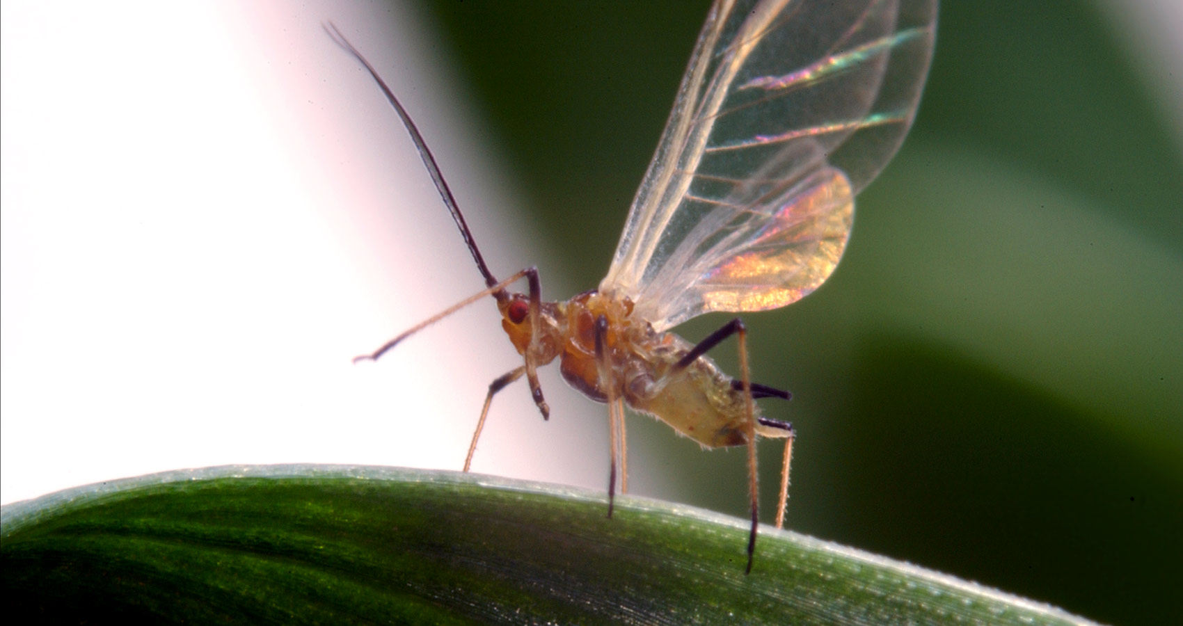 English Grain Aphid (Sitobion avenae) - credit Rothamsted Research
