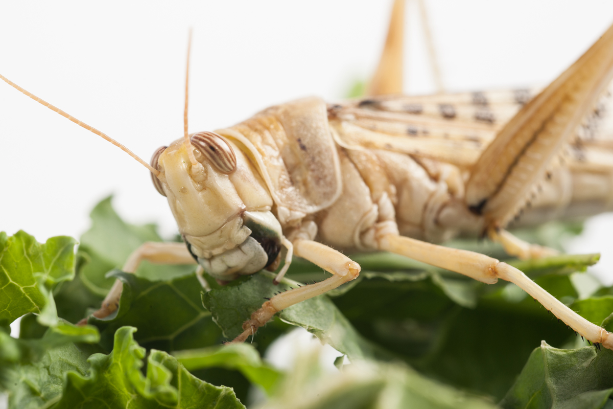 Insect food Desert locust Credit: Rothamsted Research