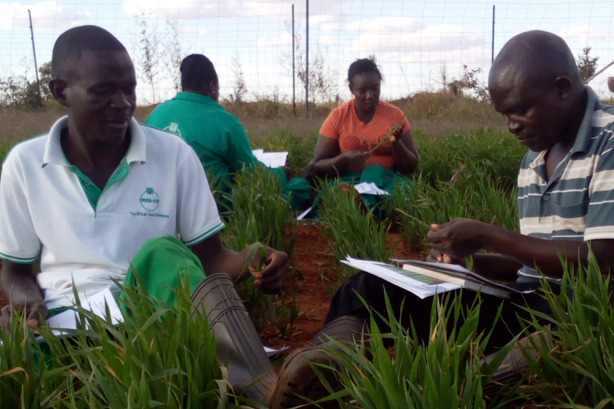 Recording aphids in wheat trails, Zimbabwe. Credit: Gia Aradottir/Rothamsted Research