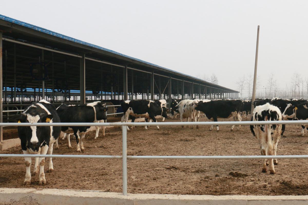 China dairy farm Credit: Wang Xuan
