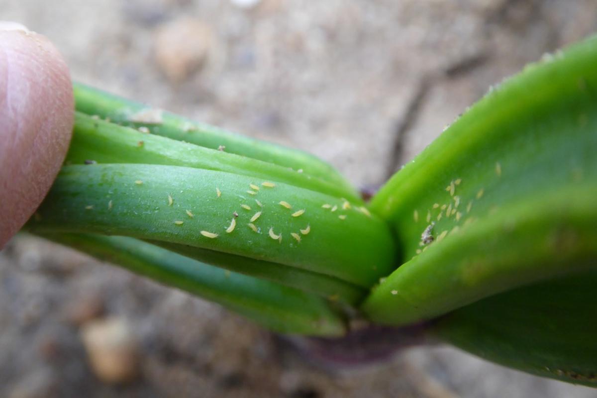 Onion thrips Credit: Chris Wallwork/Agrii