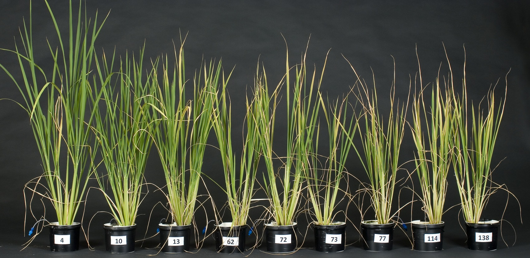 Rice Plants in Pots - copyright Rothamsted Research