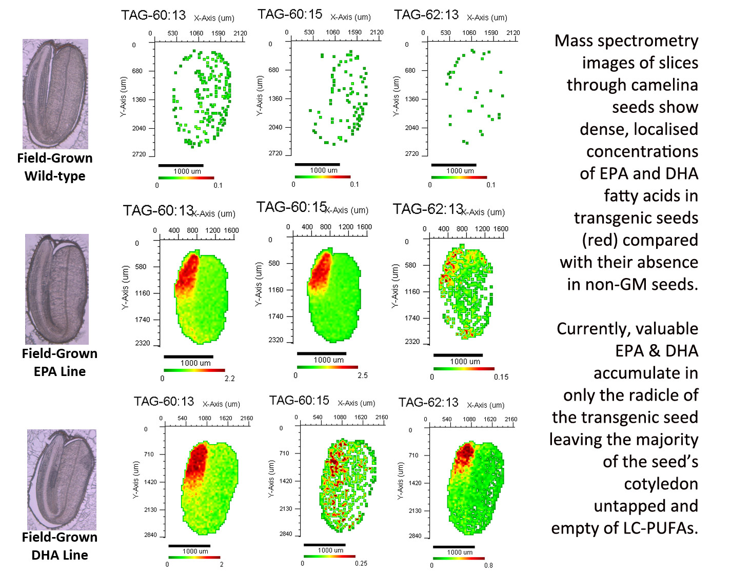 Mass spectrometry images of camelina cross-sections