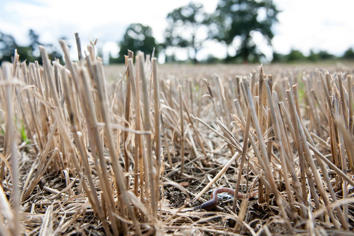 Earthworm on wheat stubble - credit Rothamsted Research