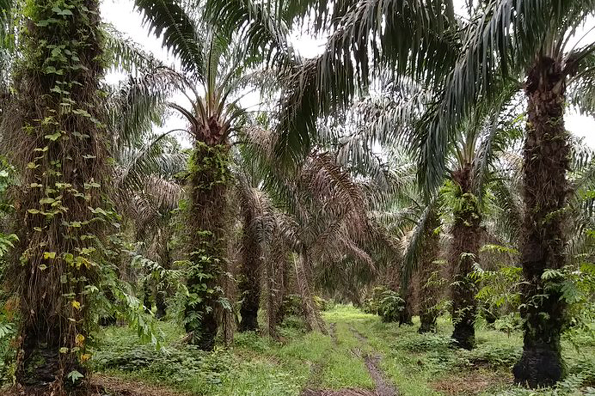 oil palm colombia Credit: Rothamsted Research