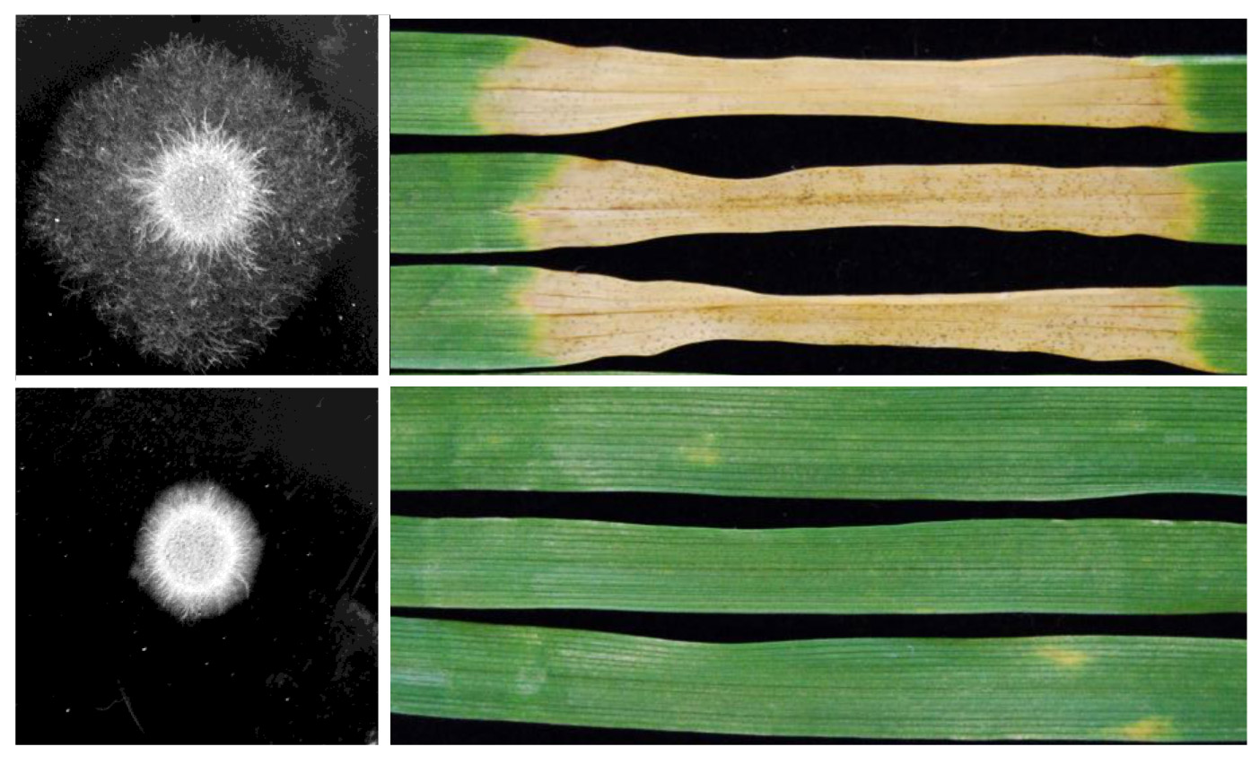 Septoria hyphae and leaf blotch in wheat - credit Rothamsted Research