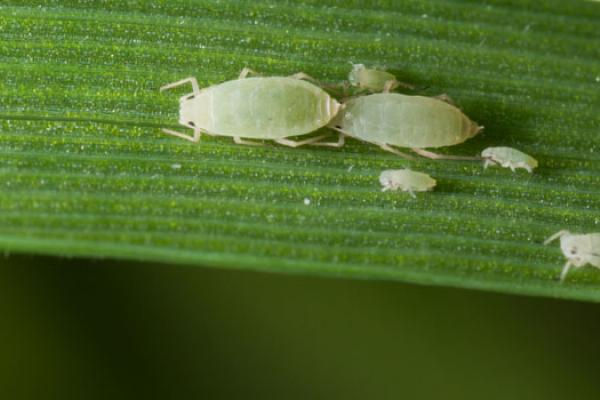 The Russian wheat aphid (Diuraphis noxia) is a destructive pest - copyright Rothamsted Research