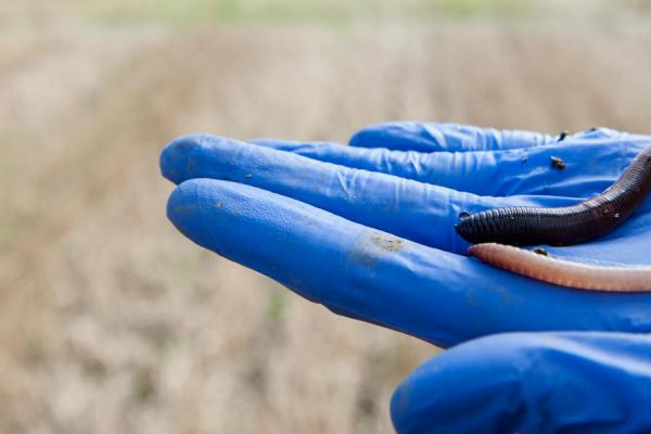 Earthworm - credit Rothamsted Research