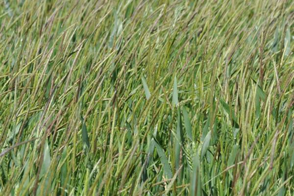 Black grass. Glyphosate approval renewed. Credit: Rothamsted Research