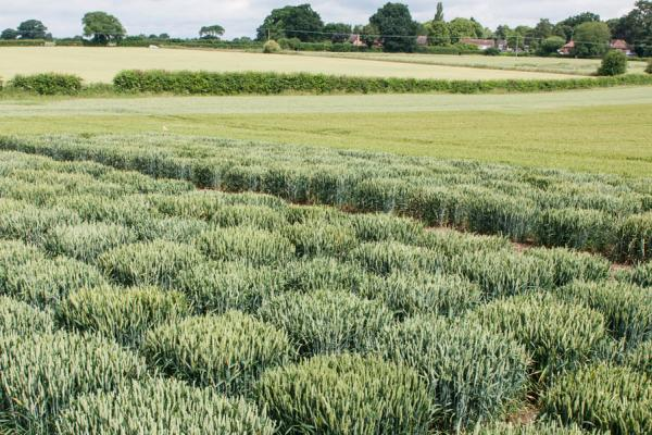 Phialophora field trial Credit: Rothamsted Research