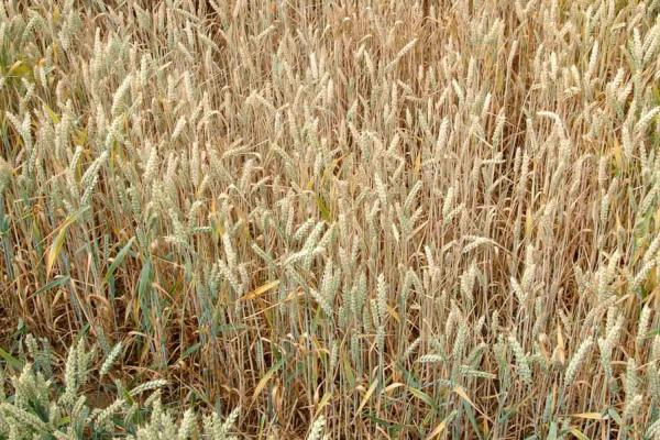 Take-all patches in wheat field Credit: Rothamsted Research
