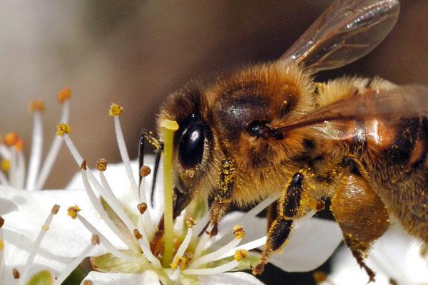 Apis mellifera Credit: Rothamsted Research