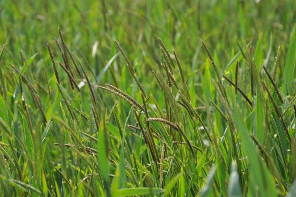 Blackgrass - copyright Rothamsted Research