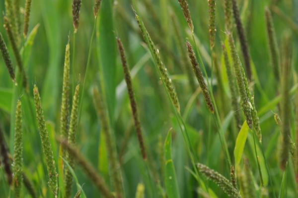 Black-grass Credit: Rothamsted Research