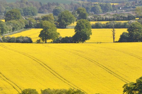 Landscape image of oilseed rape - credit Rothamsted Research