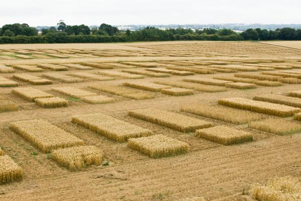 WGIN wheat plots. News 27 Dec 2017. Credit: Rothamsted Research
