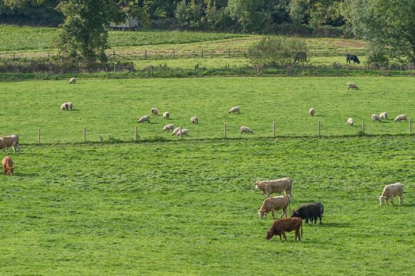 Livestock at North Wyke Credit: Rothamsted Research