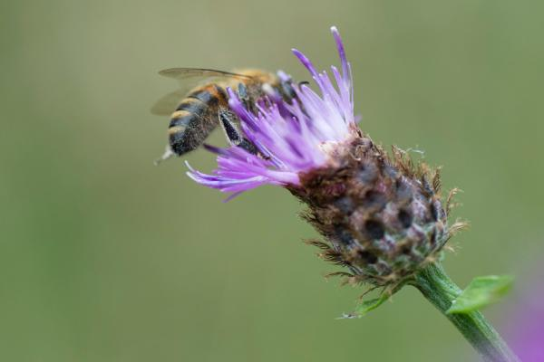 Bee on flower. Viewpoint 20 Dec 2017. Credit: Rothamsted Research
