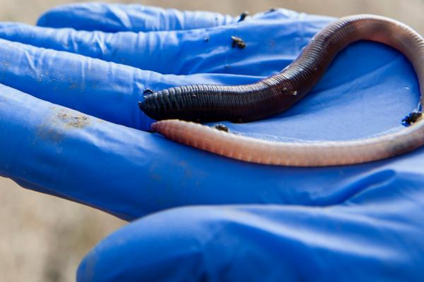 Worm Credit: Rothamsted Research