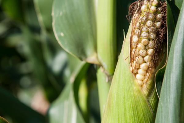 Maize on Broadbalk Credit: Rothamsted Research