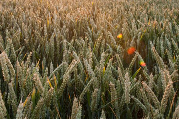 wheat field Credit: Rothamsted Research