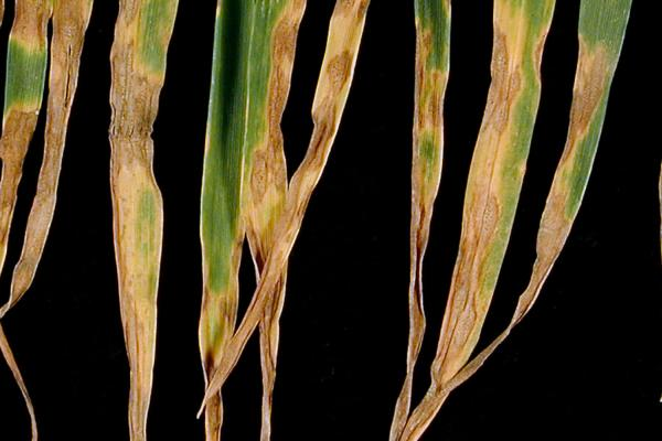Septoria leaf blotch - credit Rothamsted Research