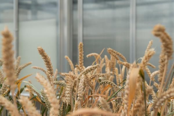 Rothamsted Research submits application to Defra for permission to carry out field trial with GM wheat plants