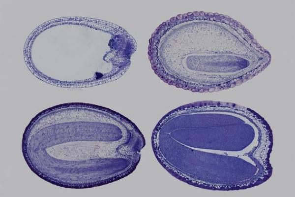 Camelina Seeds showing embryo development 6,10,13 and 20 days after pollination