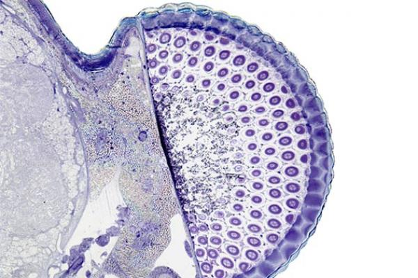Green Lace Wing compound eye cross section stained with Toluidine blue