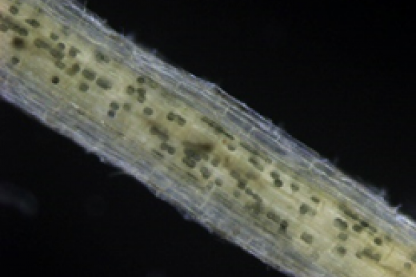 Stereomicrograph of wheat root colonised by G. hyphopodioides