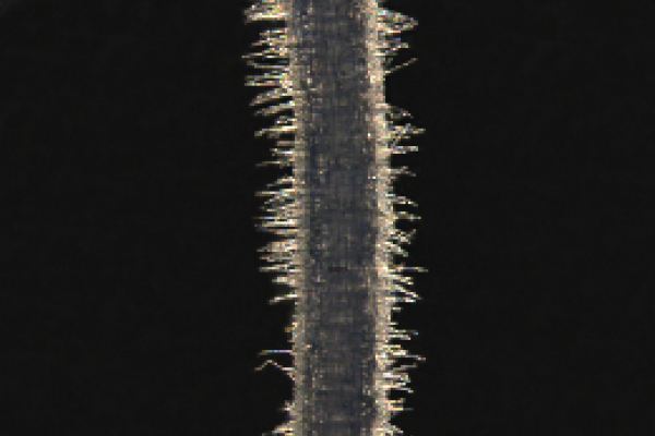 Wheat root imaged using transmitted light on a stereomicroscope