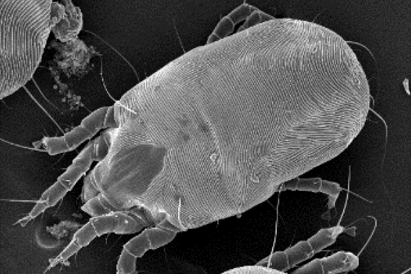 Cryo-SEM image of common house dust mite
