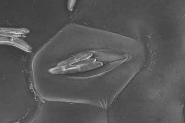 Electron Microscope image of Zymoseptoria conidiospores on the surface of a Nicotian - copyright Rothamsted Research