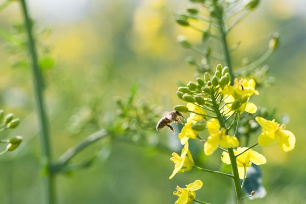 Pollinator on oilseed rape - credit Rothamsted Research