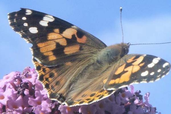 Painted Lady - copyright Rothamsted Research
