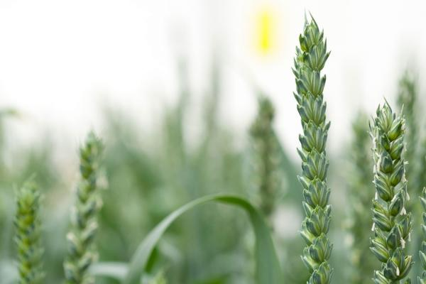 Wheat - copyright Rothamsted Research