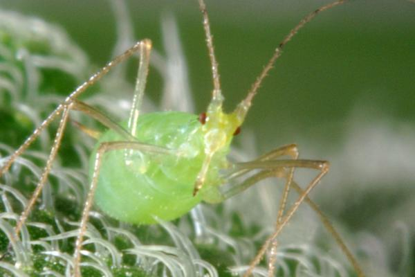 Aphid Smart Crop Protection - copyright Rothamsted Research