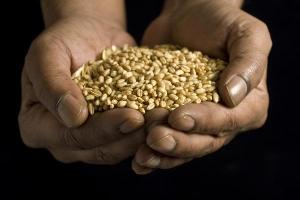 Wheat grains in hands - Credit Rothamsted Research