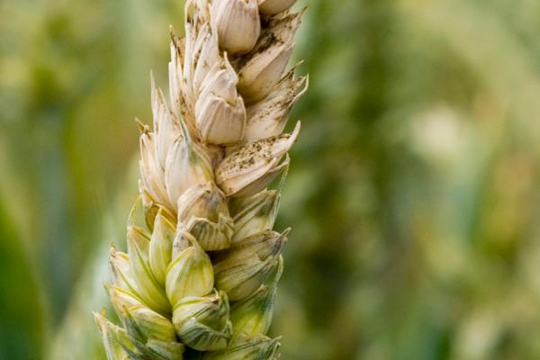 Fusarium on wheat - Credit Rothamsted Research