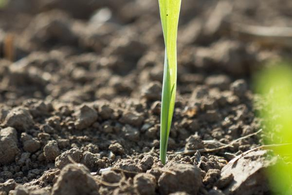Shoots and Soil - Credit Rothamsted Research